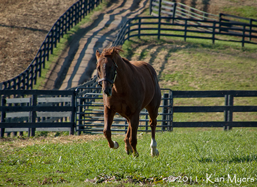 Nov 1, 2011: Commentator races to the top of his paddock for carrots.