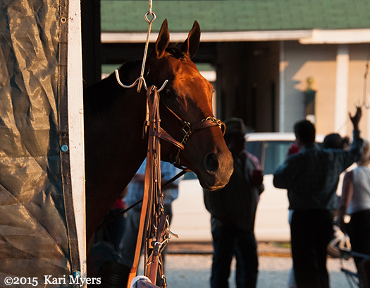 May 2, 2015: American Pharoah peeks out of Baffert's barn while walking the shed row after his win in the Kentucky Derby.