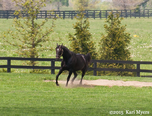Apr 29, 2015: Pioneerof the Nile tears around his paddock at WinStar Farm in Versailles, KY.